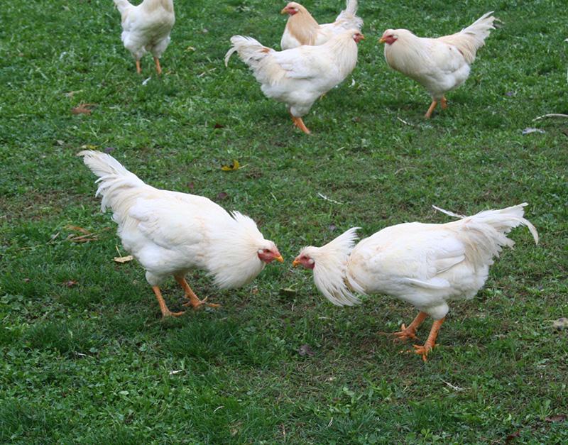 pollo_semibrado