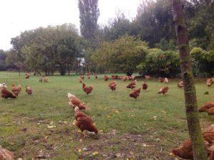 Allevamento brado - pollo